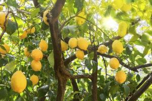 limoneti di Sorrento